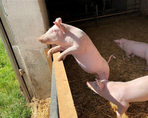 Meissner-Schwein-Ferkel