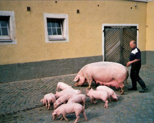 Merzdorf-Meissner-Schwein